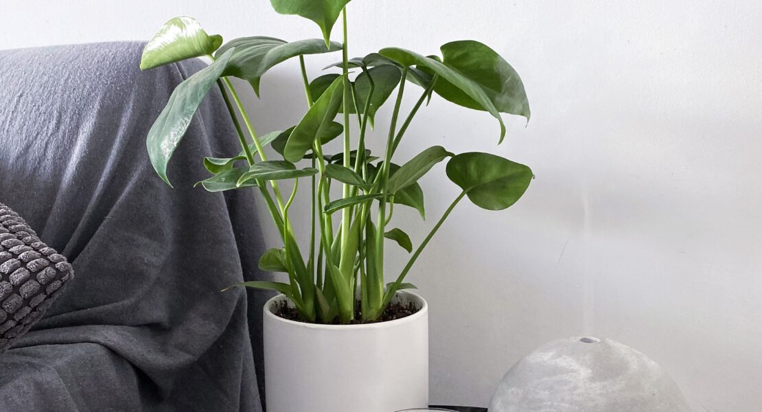 The MJ Elle_Indoor Plants For Small Spaces_Baby Monstera