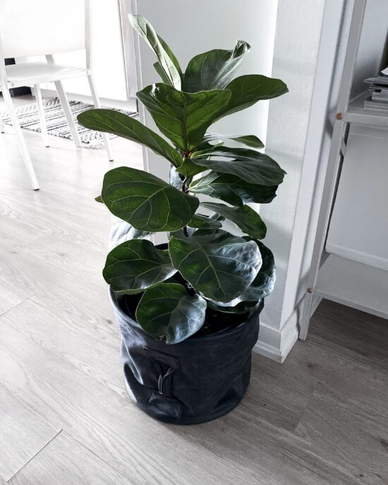 Indoor Plants For Small Spaces - Fiddle Leaf Fig